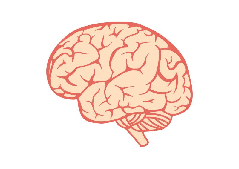800x566 Brain Free Vector Illustration