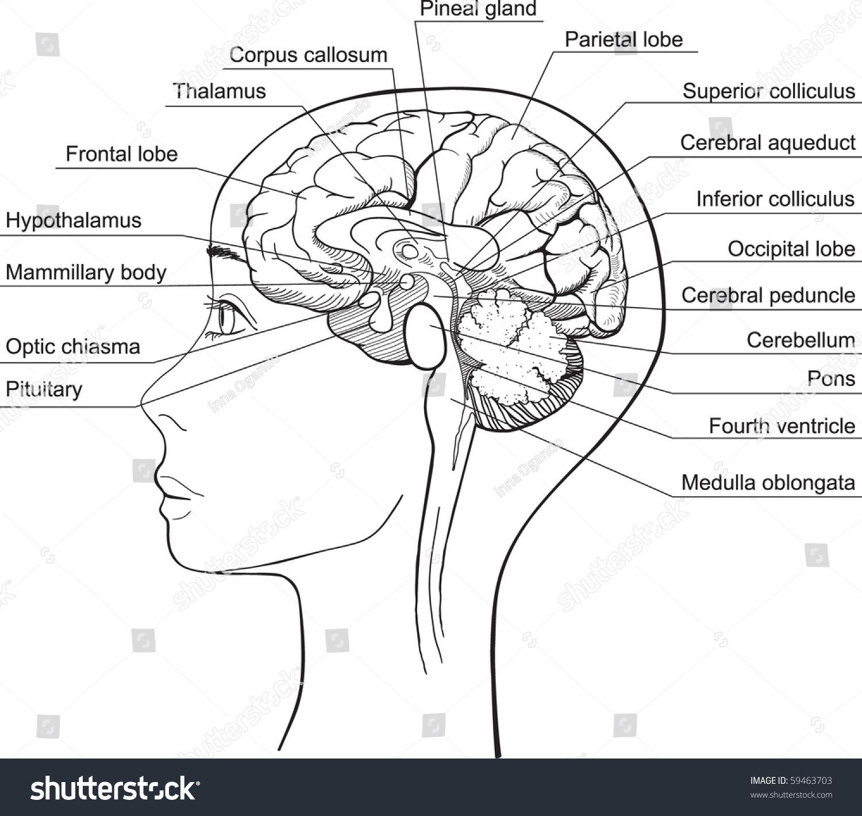 1500x1419 Brain Midsagittal Section Midsagittal Section Human Brain Vector