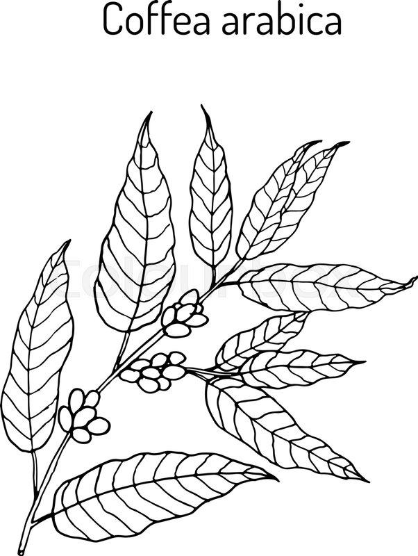 602x800 Hand Drawn Coffee Tree Branch. Vector Illustration Stock Vector