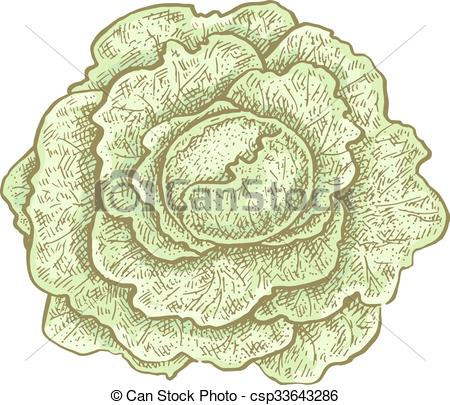 450x405 Hand Drawn Vintage Style Colorful Cabbage. Vector Illustration For