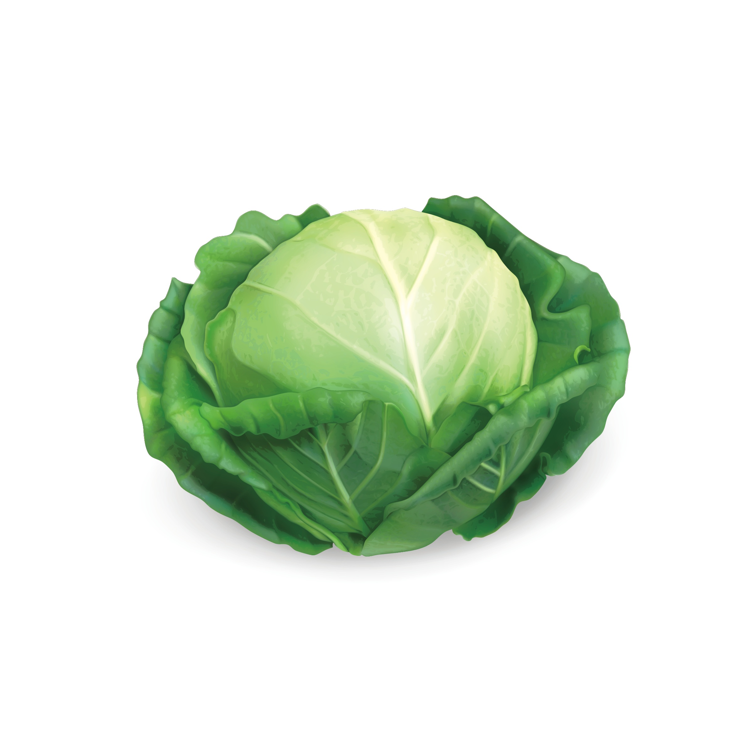 2362x2362 Red Cabbage Savoy Cabbage Chinese Cabbage