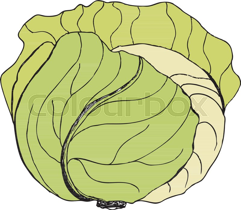 800x698 Vector Green Liner Cabbage. Cabbage Clipart. Vector Vegetable