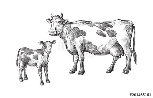 500x320 Sketches Of Cows And Calf Drawn By Hand. Livestock. Cattle. Animal