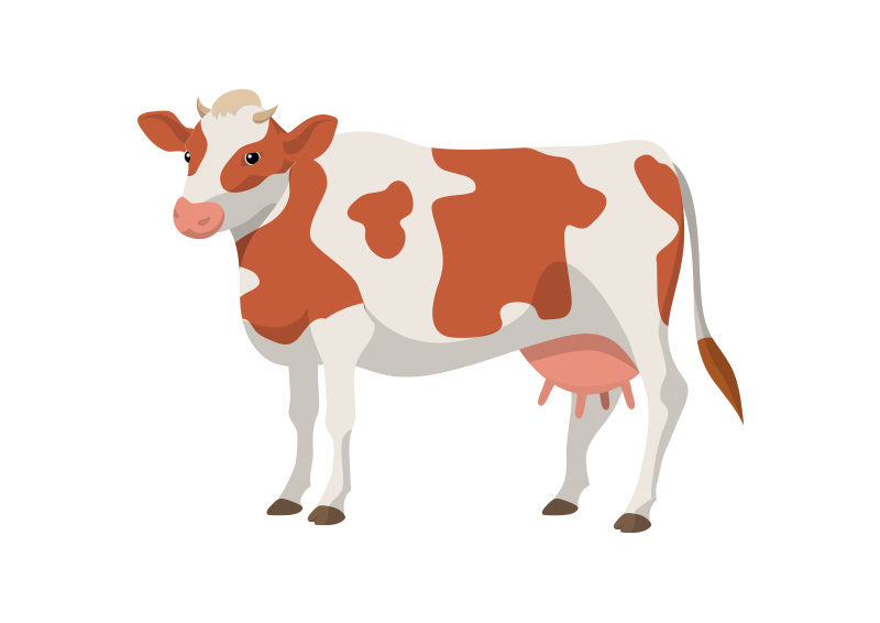 800x566 Cow Vector Illustration