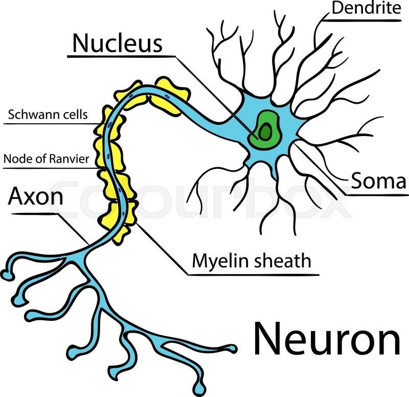800x776 Anatomy Of A Typical Human Neuron (Axon, Synapse, Dendrite