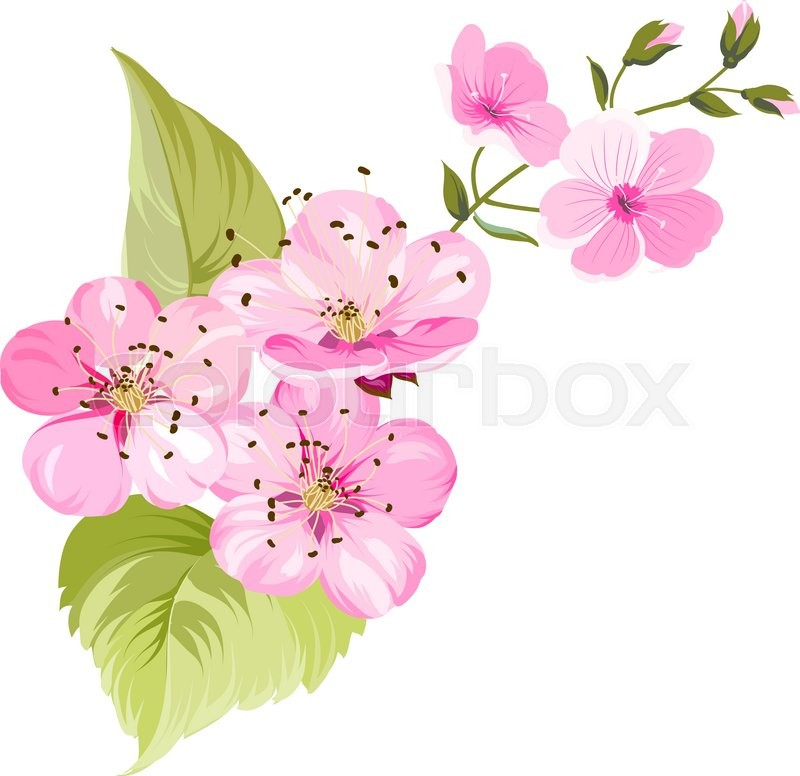 800x776 Sakura Japan Cherry Branch With Blooming. Cherry Blossom. Blossom