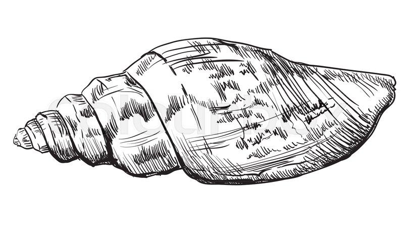 800x457 Hand Drawing Seashell. Vector Monochrome Illustration Of Seashell