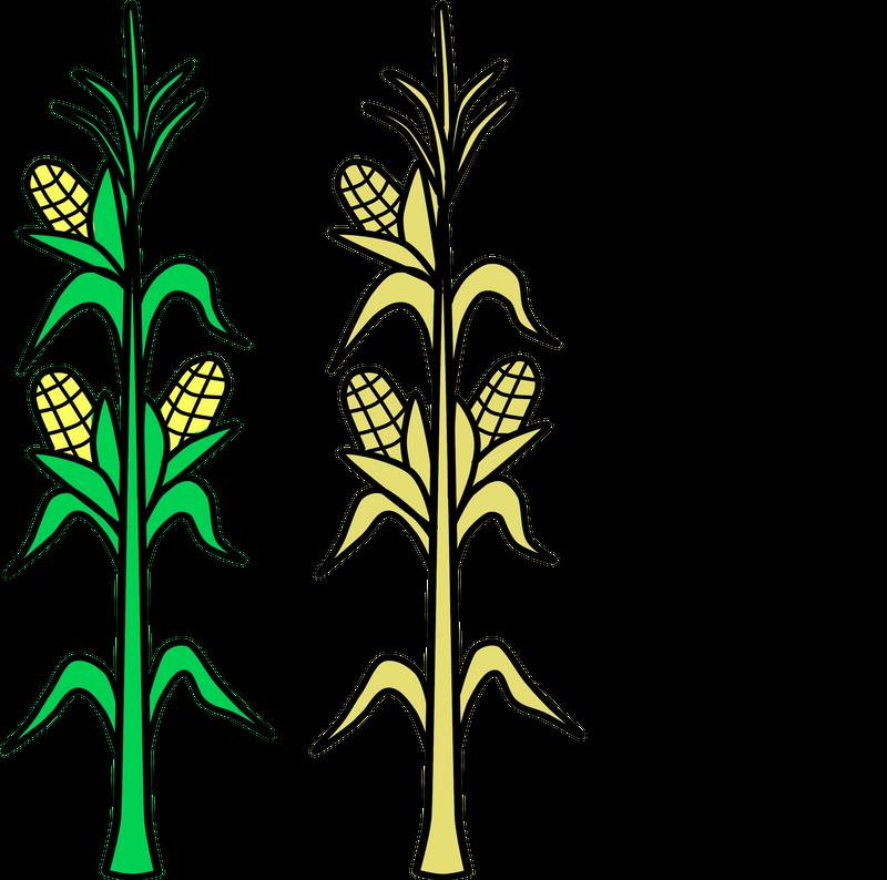 800x794 Corn, Field, Vector, Agriculture, Plant, Crop, Farm