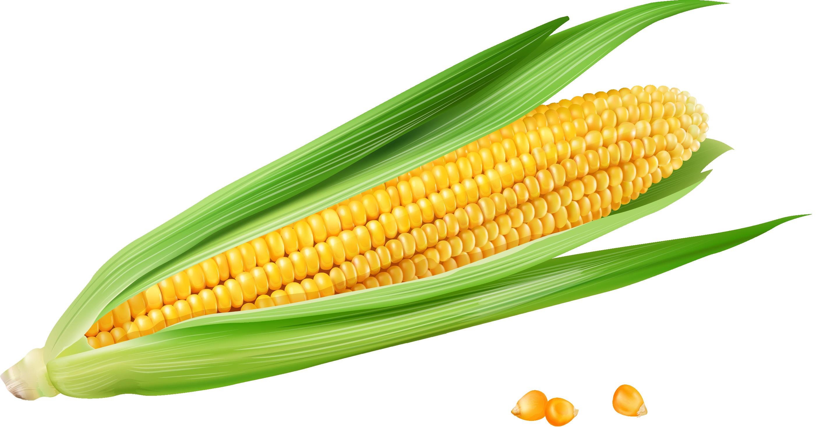 2802x1466 Corn On The Cob Maize Euclidean Vector Vecteur