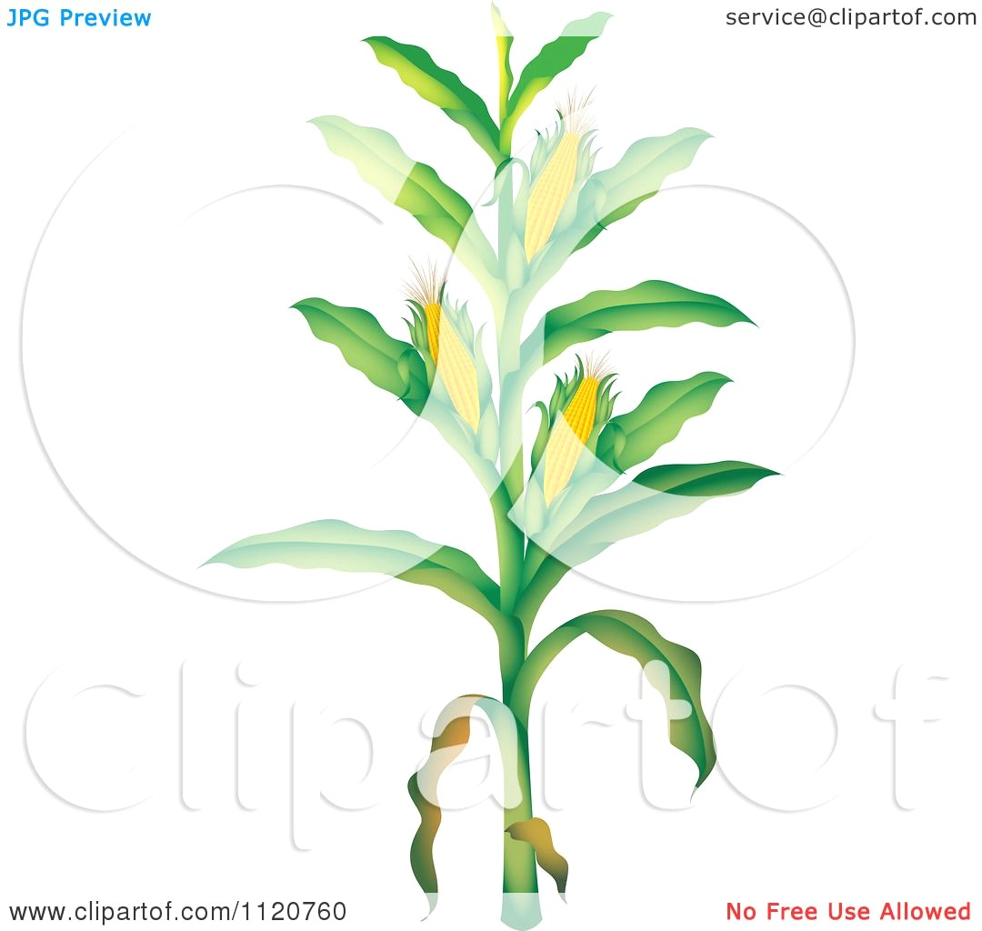1080x1024 Cartoon Of A Corn Stalk Royalty Free Vector Clipart 10241120760