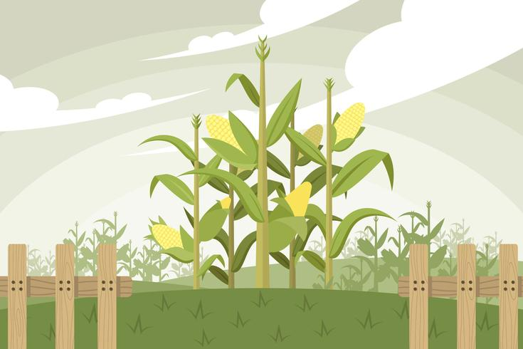 735x490 Corn Stalk Vector