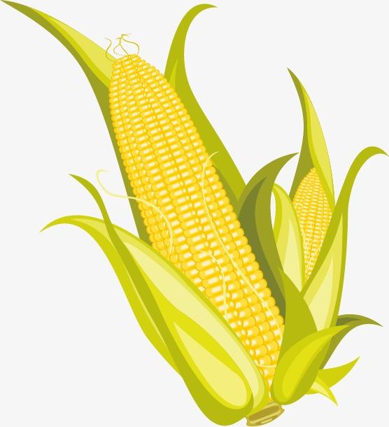 556x610 Corn And Popcorn Image, Corn Vector, Popcorn Vector, Popcorn Png