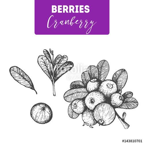 500x500 Cranberry Hand Drawn Vector Illustration Set. Engraved Food Image