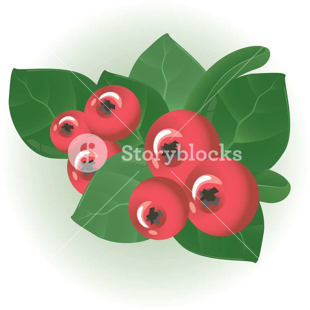 1000x1000 Cranberry. Vector. Royalty Free Stock Image