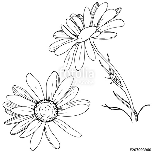 500x500 Daisy In A Vector Style Isolated. Full Name Of The Plant Daisy