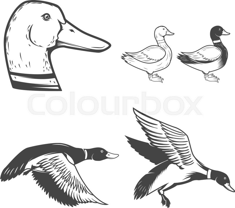 800x706 Set Of Wild Ducks Icons Isolated On White Background. Duck Hunting