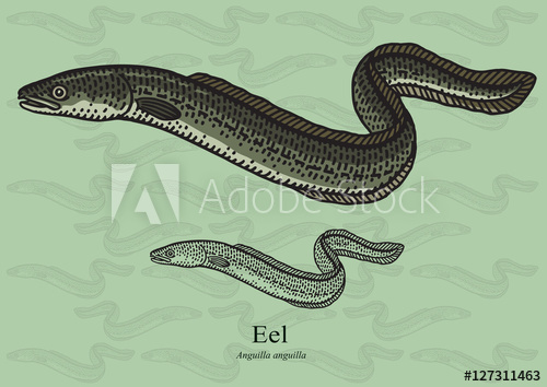 500x354 Eel. Vector Illustration For Artwork In Small Sizes. Suitable For