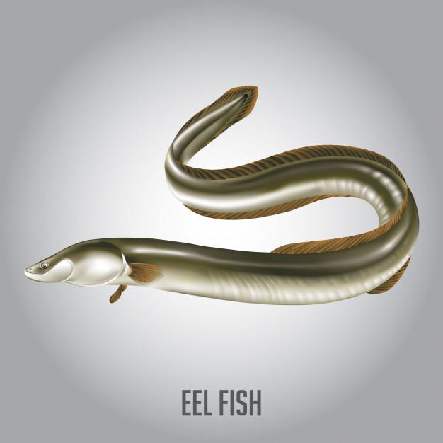 626x626 Eel Fish Vector Illustration Vector Premium Download