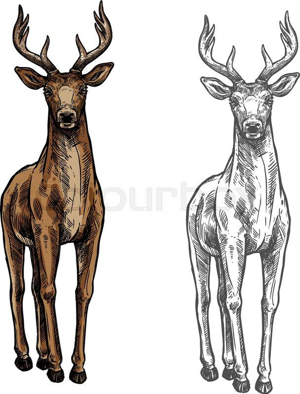 608x800 Elk Wild Animal Sketch Vector Icon Front View. Wild Elk Hind Or