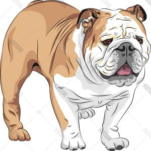 300x300 Sketch Of English Bulldog Breed Vector Clipart Rongholland