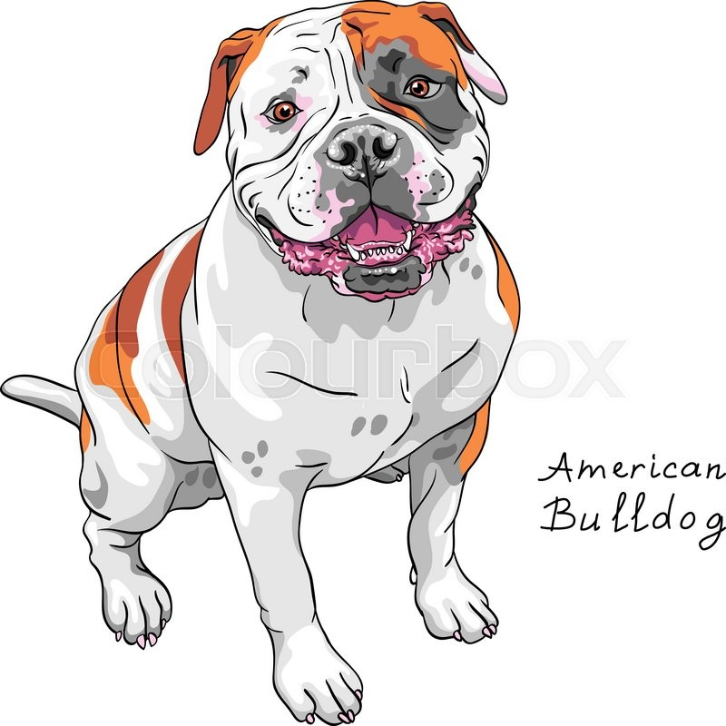 800x800 Color Sketch Of The Dog American Bulldog Breed Stock Vector
