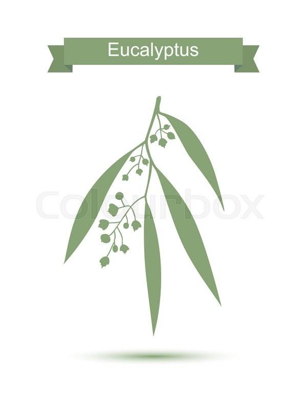600x800 Eucalyptus. Vector Illustration Isolated On White Background