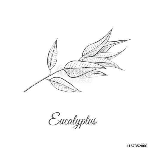 500x500 Eucalyptus (Eucalyptus Globulus) Sketch Vector Illustration