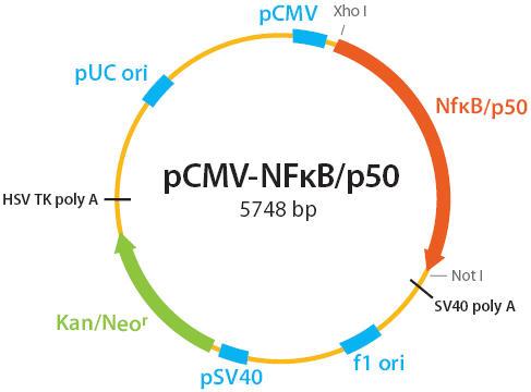 487x360 Mammalian Tf Expression Vectors Isogen Life Science