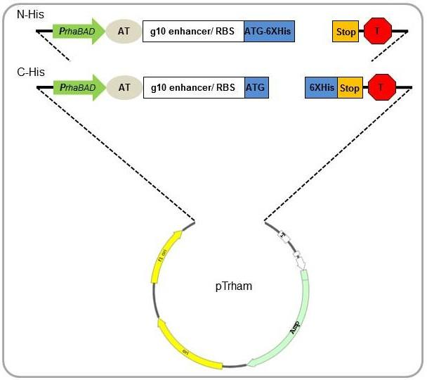 608x540 Rhamnose Cloning Amp Expression System C His Ptrham Fast Cloning