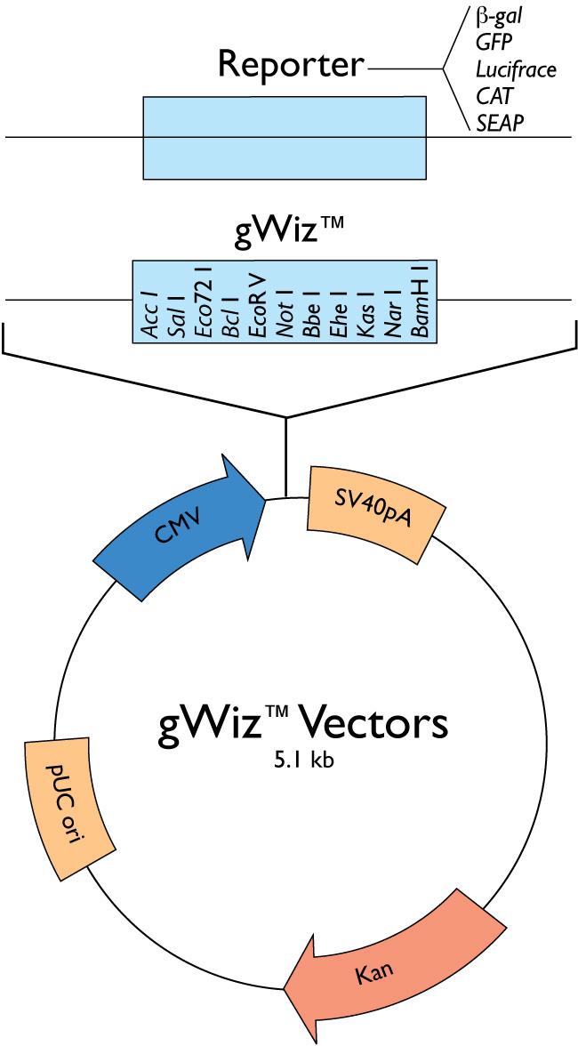 650x1176 Gwiz Vectors Gene Expression Vector