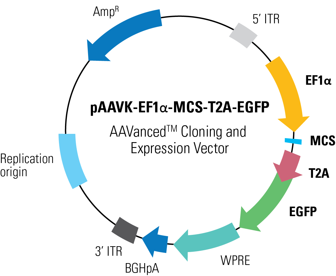 1095x899 Paavk Mcs T2a Egfp Aavanced Cloning And Expression Vector