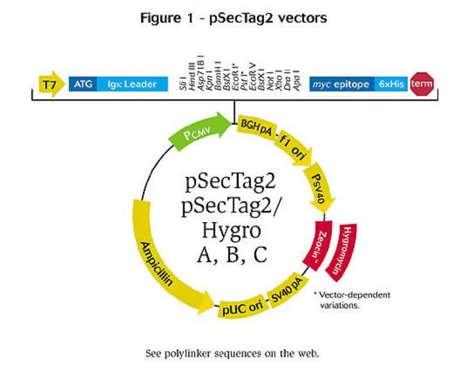 650x544 Psectag2 A, B, C Mammalian Expression Vectors