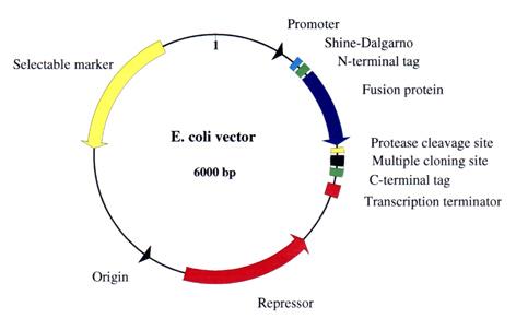 472x302 E. Coli Vector Features