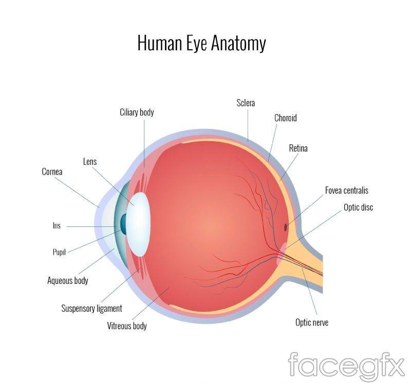 800x746 Human Eye Chart Vector Free Vectors Human Eye
