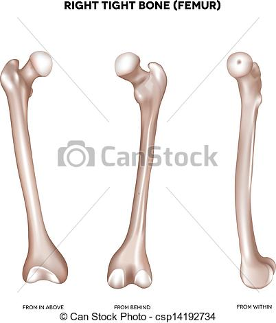 402x470 Right Tight Bone Femur. Bone Of The Lower Extremity. From Above