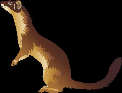 501x385 Ferret Clipart Polecat