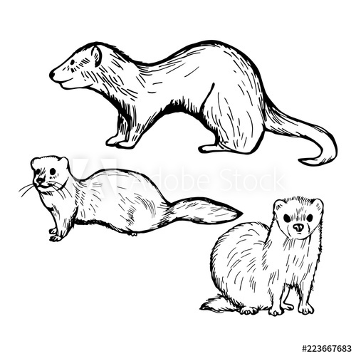 500x500 Hand Drawn Ferret On White Background. Vector Sketch Illustration