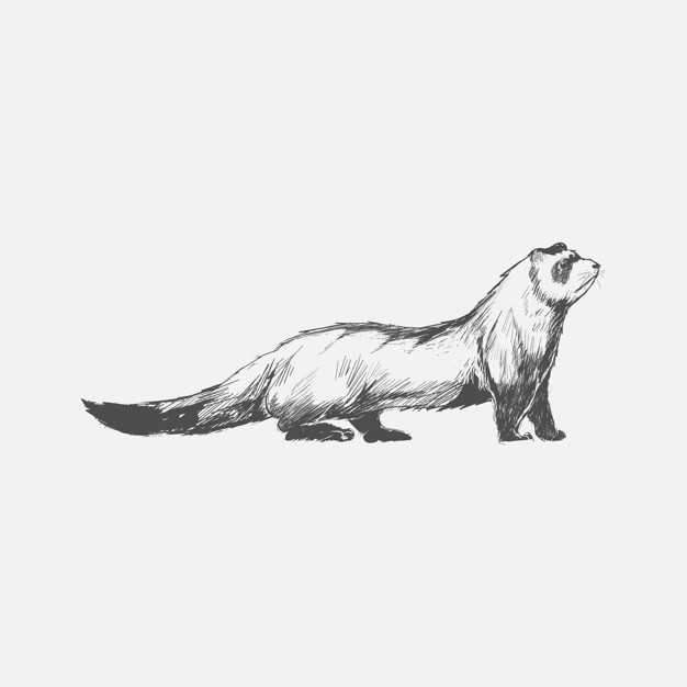 626x626 Illustration Drawing Style Of Ferret Vector Premium Download