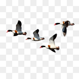 260x260 Flying Duck Png Images Vectors And Psd Files Free Download On