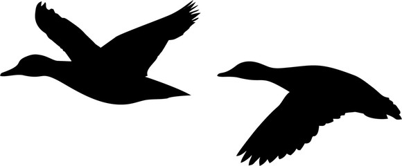 580x240 Flying Ducks Photos, Royalty Free Images, Graphics, Vectors