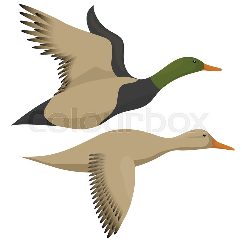 800x800 Flying Ducks Isolated On White. Drake And Duck Flying Icon. Vector