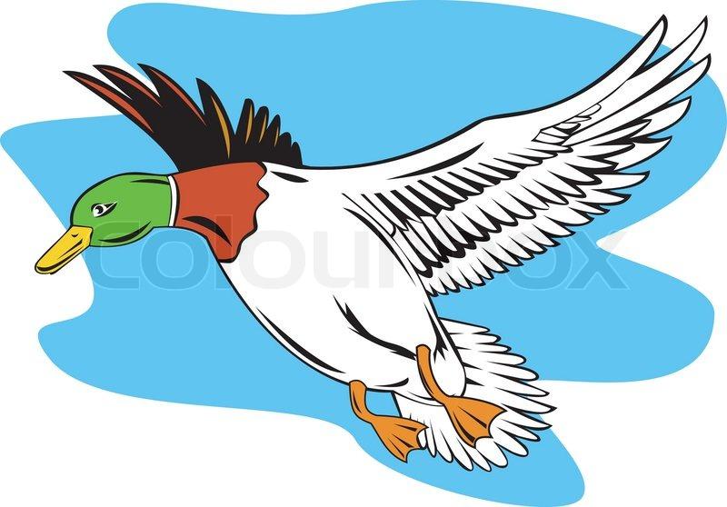 800x558 Mallard Duck Flying Stock Vector Colourbox