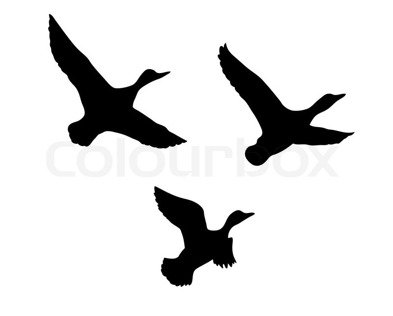 800x644 Vector Silhouette Flying Duck On White Background Stock Vector