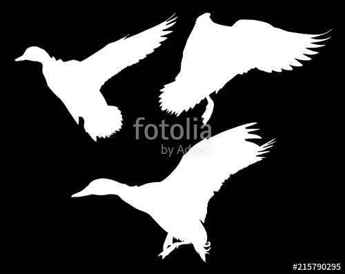 500x397 Three Flying Ducks Isolated On Black Stock Image And Royalty Free