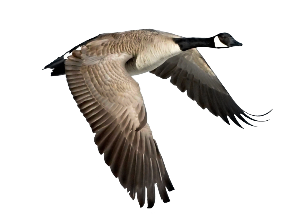 Flying Goose Vector