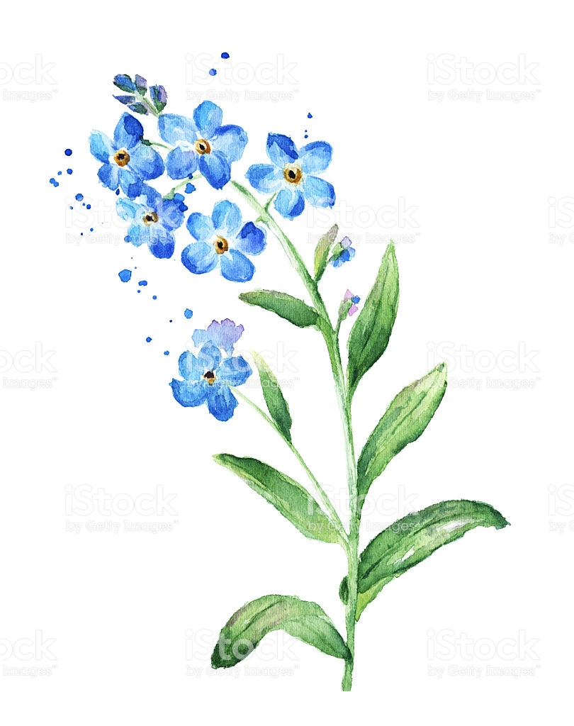 810x1024 Limited Forget Me Not Flower Picture Watercolor Stock Vector Art