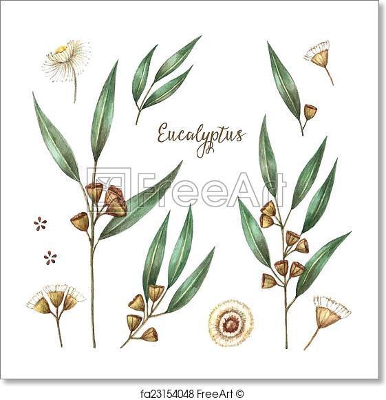 561x581 Free Art Print Of Watercolor Eucalyptus Leaves. Watercolor