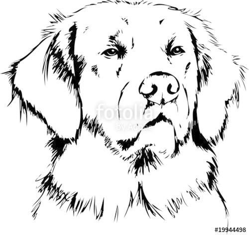 500x472 Golden Retriever Stock Image And Royalty Free Vector Files On