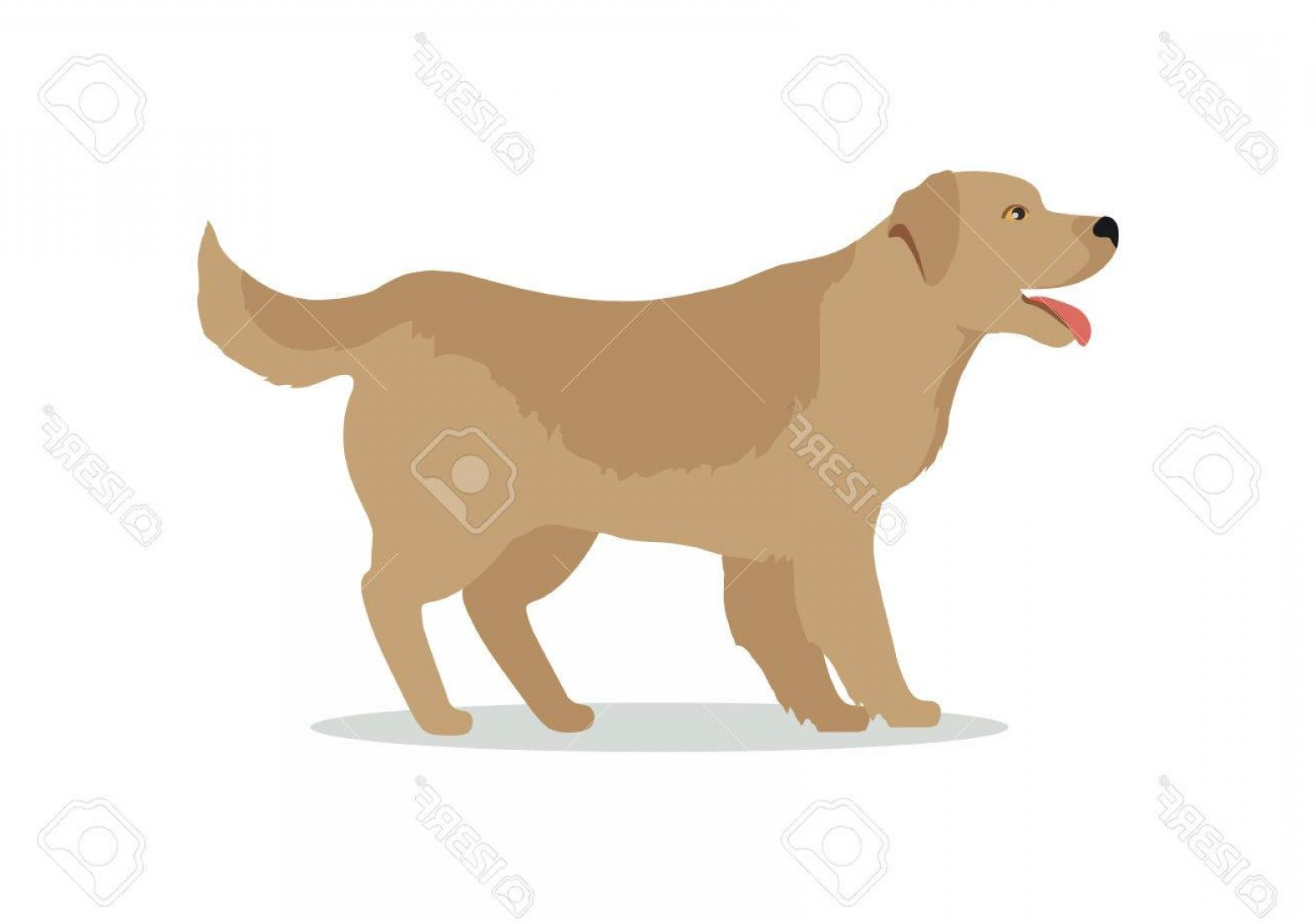 1560x1092 Photostock Vector Golden Retriever Dog Isolated On White Labrador