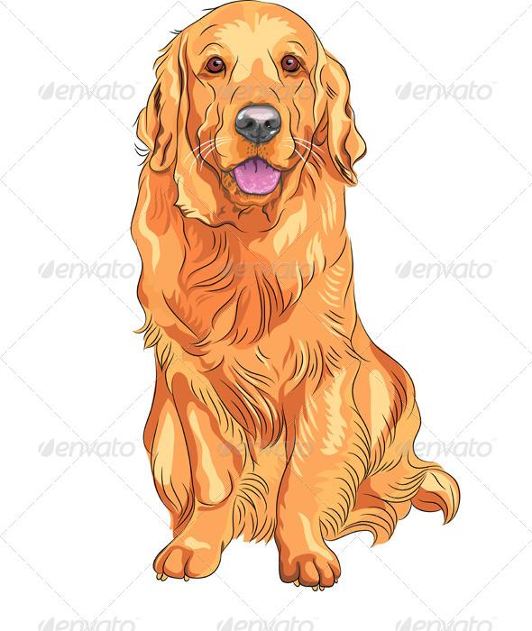 590x700 Vector Dog Breed Golden Retriever Sitting By Kavalenkava